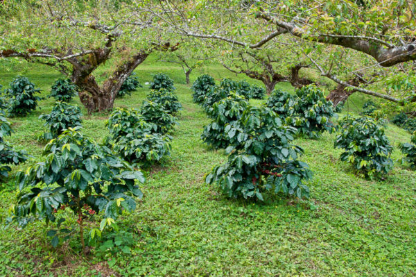 coffee beans on coffee tree.